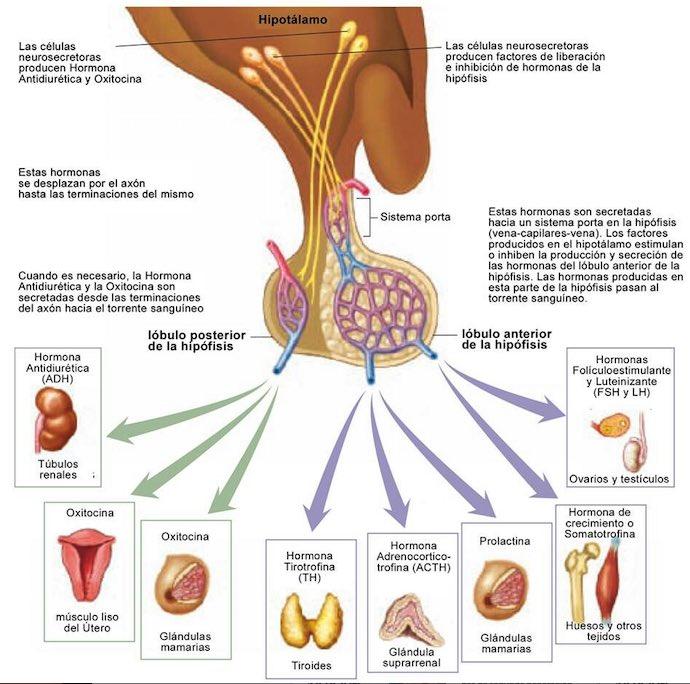 hormona antidiuretica