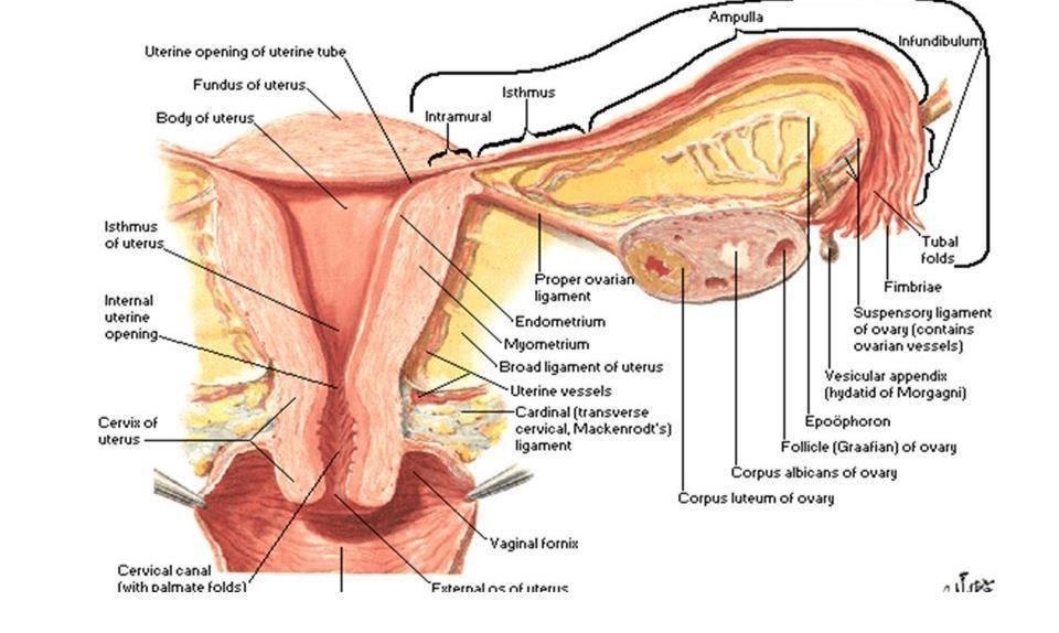 anatomía trompas falopio- ope enfermería