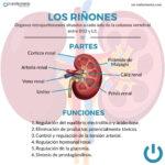 Infografía riñones