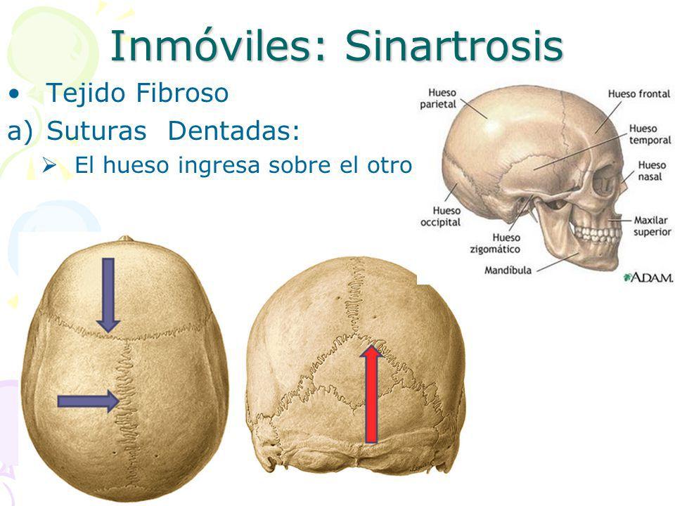 Inmóviles: sinartrosis | Sistema músculo-esquelético