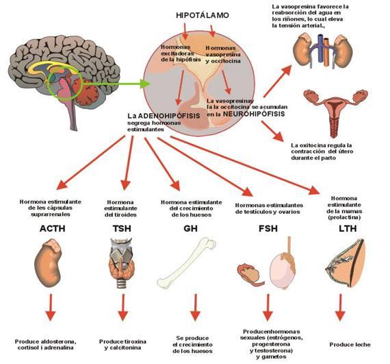 Hipófisis pituitaria - Endocrinología